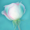 pendulumchanges: Z - white rose with pink edges on blue