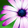pendulumchanges: Z - gorgeous purple flower