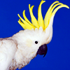 A: Cockatoo