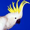 A: Cockatoo
