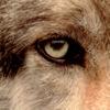 wolfsnc userpic